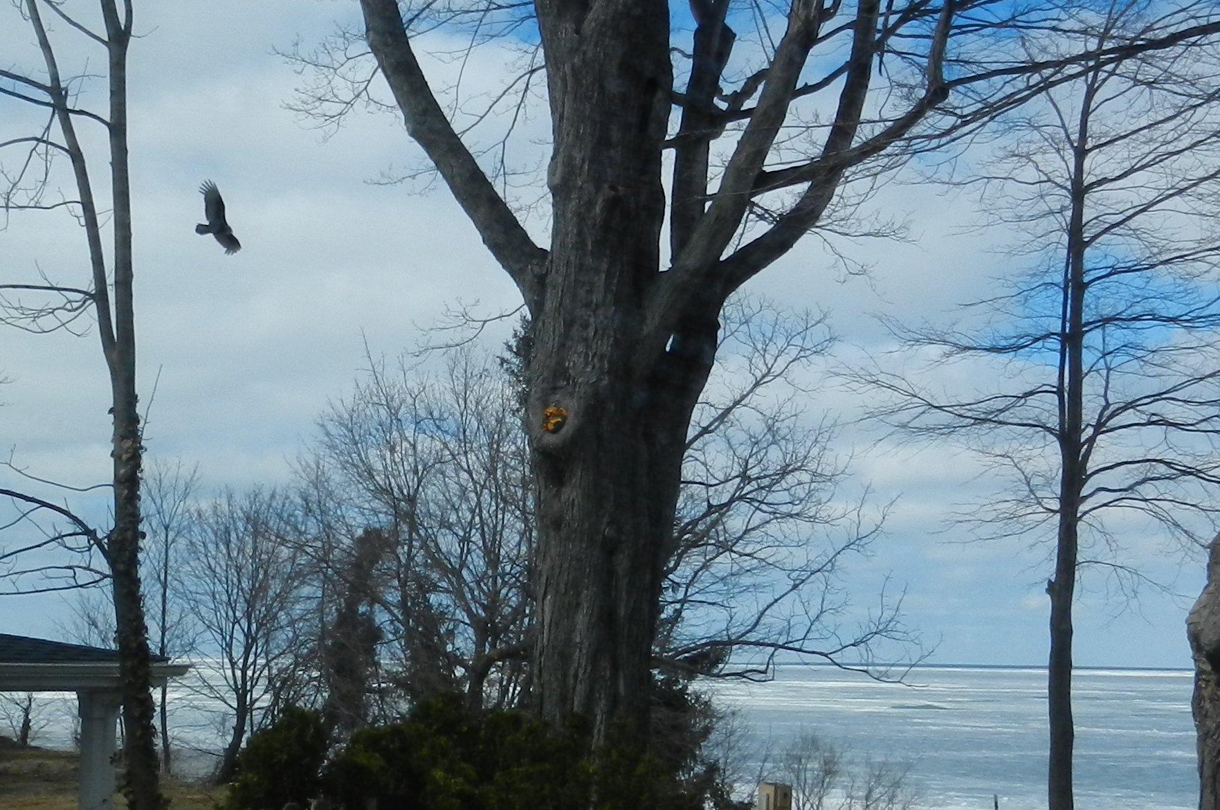 First buzzards of the year scouring the ice on Lake Erie for dead fish.
